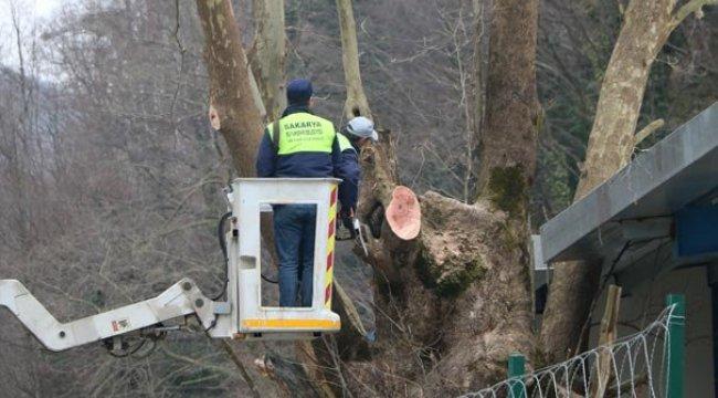300 yıllık çınar ağacı için proje değiştirildi