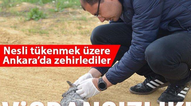 Vicadansızlık... Nesli tükenmek üzere: Ankara'da zehirlediler