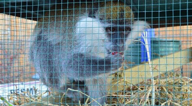 Aksaray'da şaşırtan olay! Çiftçi ahırında maymun buldu...
